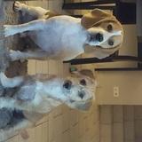 Leon - Beagle