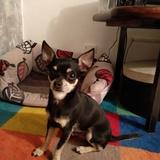 Baloo - Chihuahua
