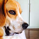 Martín (Beagle)
