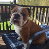 Reggie (English Bulldog)