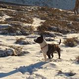 Krom (American Staffordshire Terrier)