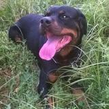 Tyson  (Rottweiler)