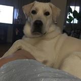 Leo - Labrador Retriever