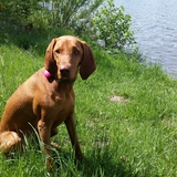 Lilli (Drahthaariger Ungarischer Vorstehhund)