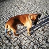 Arya  (Boxer)