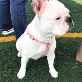 Lola (Bulldog Francés)