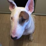 George (Bull Terrier)