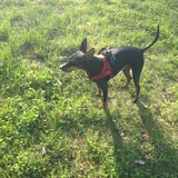 Lauris (Toy Terrier)