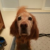 Romeo  (Amerikanischer Cocker Spaniel)