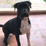 Tro (Bull Terrier)
