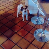 Magie (Fox Terrier)