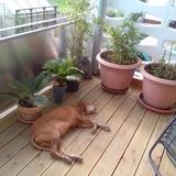 Hagyta (Kurzhaariger Ungarischer Vorstehhund)