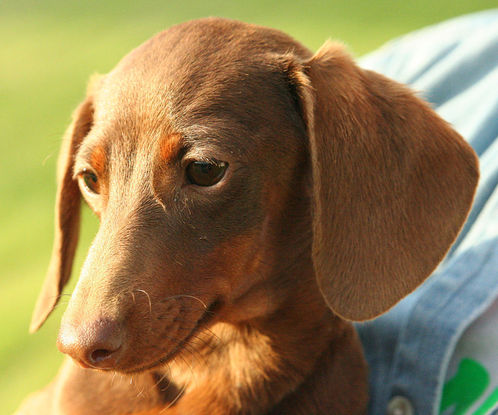 Slider 1024px smooth dachshund red and tan portrait