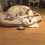 Lemon (Spanish Greyhound)