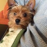 Joey (Yorkshire Terrier)
