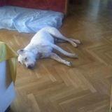 Rolo (Dogo Argentino)