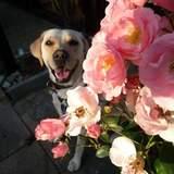 Zoe (Labrador Retriever)
