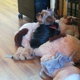 Yordan  (Yorkshire Terrier)