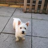 Roxy (West Highland White Terrier)