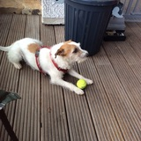Findus (Parson Russell Terrier)