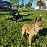 Stewie Y Loca  (Chihuahua)