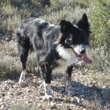KAMBA - Border Collie
