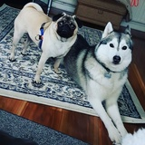 Mishka And Alife  (Siberian Husky)