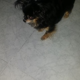 Mery - Chihuahua