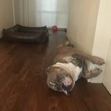 Rocky (Englische Bulldogge)