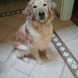 Fino (Golden Retriever)