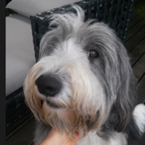 Casper (Bearded Collie)