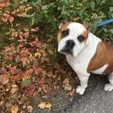 Mishka (English Bulldog)