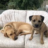 Stanley (Border Terrier)