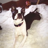 Angus (Boston Terrier)