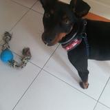 Duke (Pinscher Miniatura)