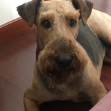 Hugo (Airedale Terrier)