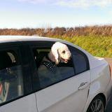 Sunny (Bedlington Terrier)