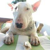 Carrie (Bull Terrier)