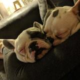 Ronnie (French Bulldog)