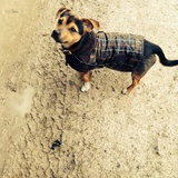 Buddy (Jack Russell Terrier)