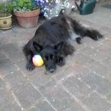 Slash (German Shepherd Dog)