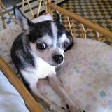 Bimba - Chihuahua