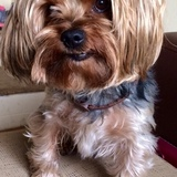 Rufo (Yorkshire Terrier)