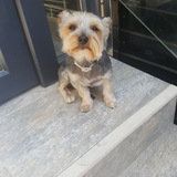Boby (Yorkshire Terrier)