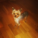 Lucy (Yorkshire Terrier)