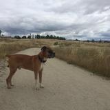 Coco (Boxer)