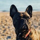 Bertie  (French Bulldog)