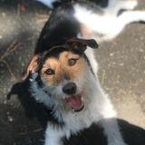 Brida (Fox Terrier De Pelo Liso)