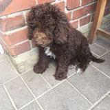Milli (Spanischer Wasserhund)
