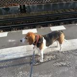 Fanny ( Beagle Harrier)